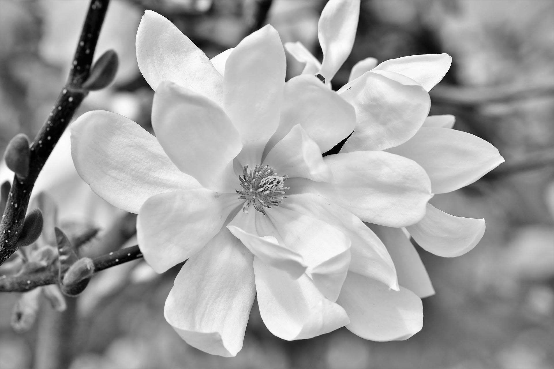 black and white image of a magnolia flower