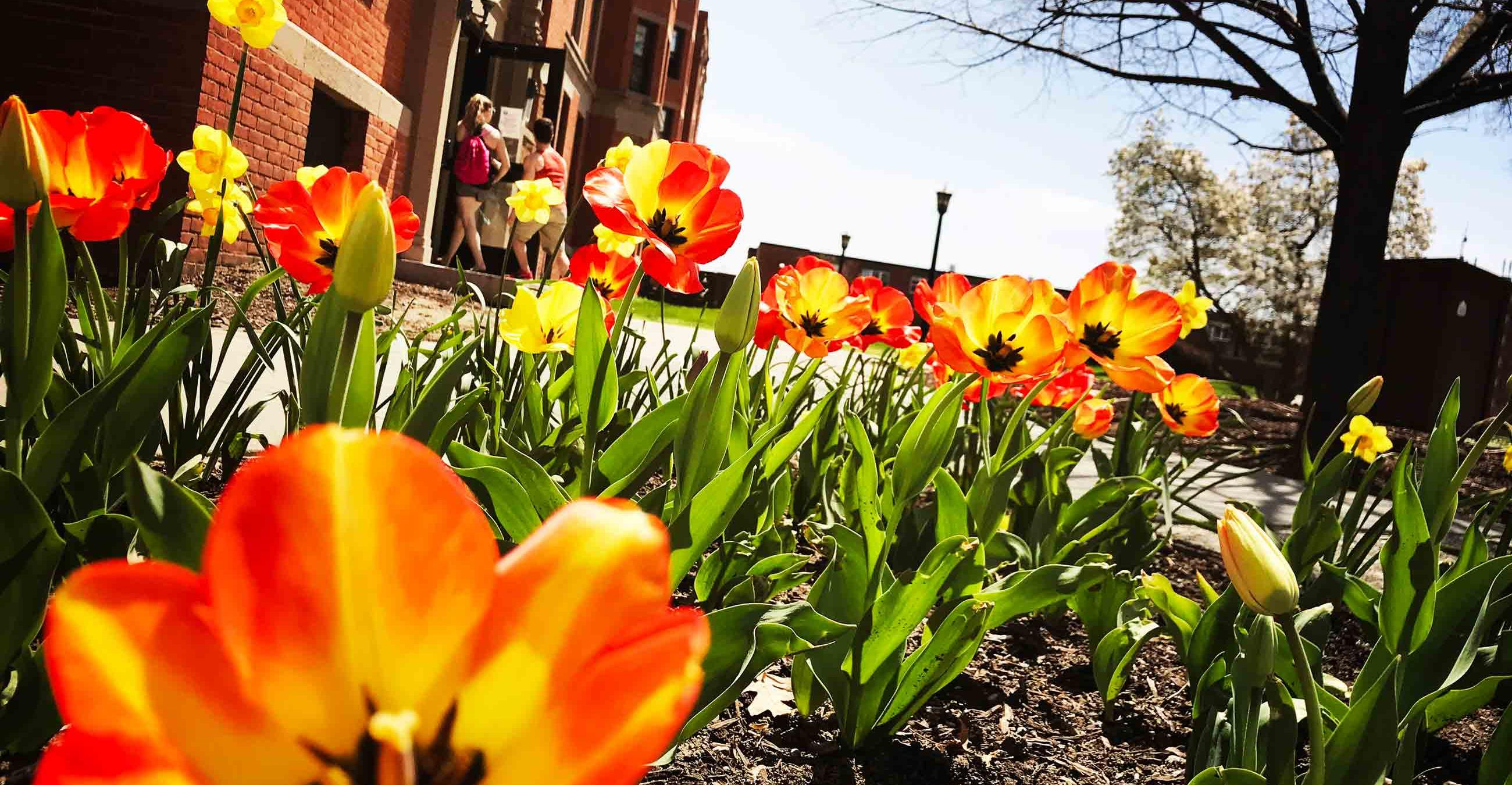 Tulips let us know its springtime on the Springfield College Campus