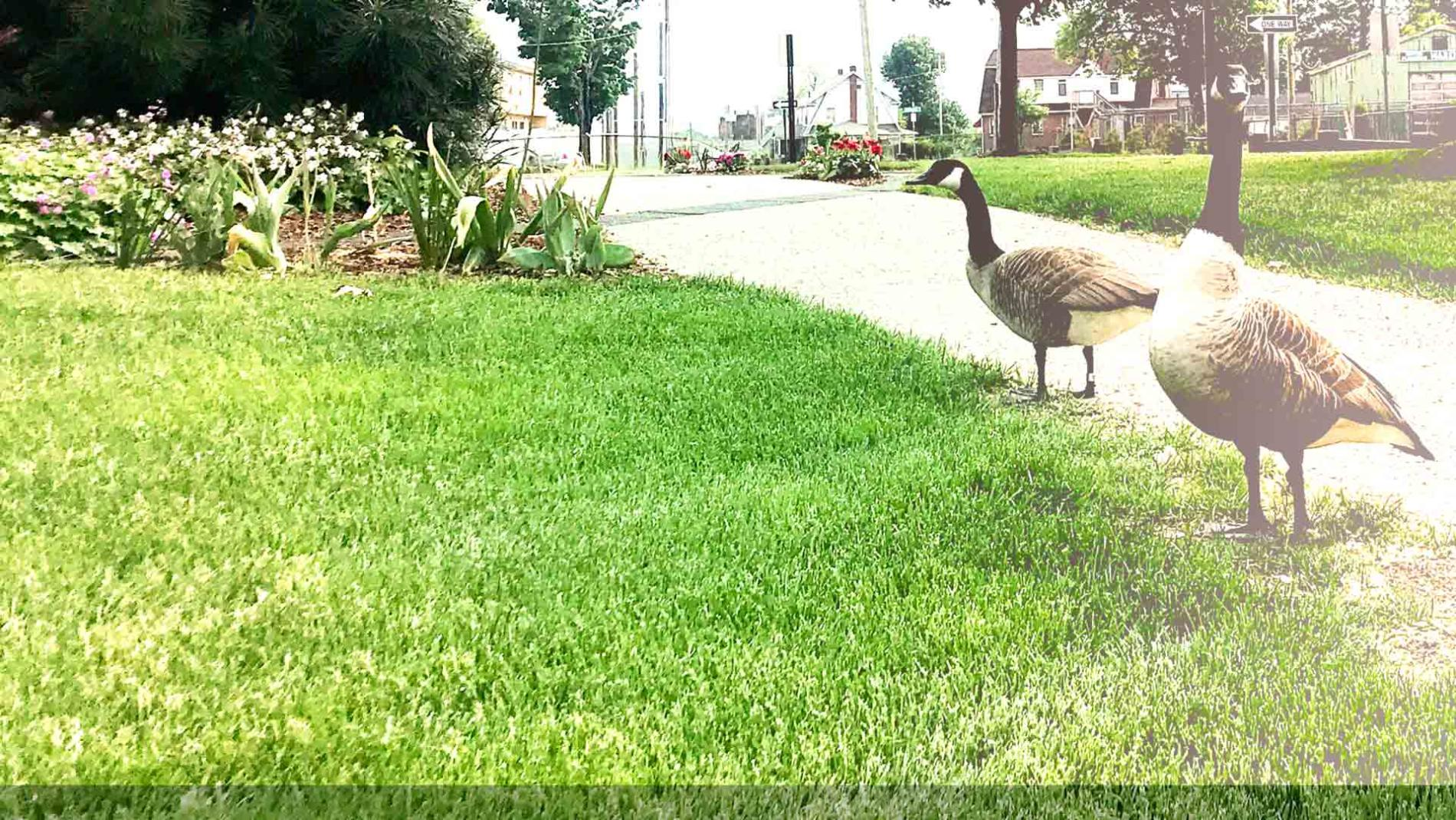 Rule-bending Geese on grass